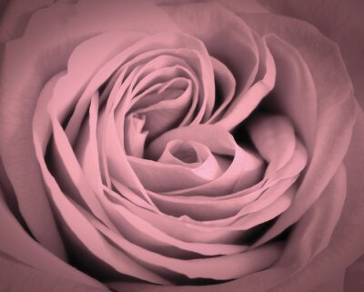 Sticker Rosa Rose Nahaufnahme Hintergrund. Romantische Liebe-Grußkarte