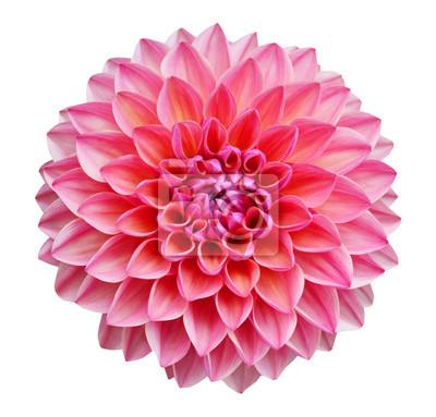 Rosafarbene Dahlie getrennt auf weißem Hintergrund