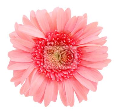 Rosafarbene Gänseblümchenblume getrennt über weißem Hintergrund