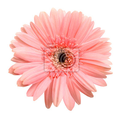 Sticker Rosafarbenes gerber getrennt auf weißem Hintergrund