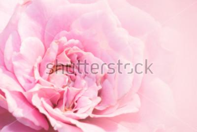 Sticker Rosarosenblume auf rosa Hintergrund mit flacher Schärfentiefe und Fokus die Mitte der Rosenblume. Schöne Rosarose im Garten. rosa Rosenmakro.
