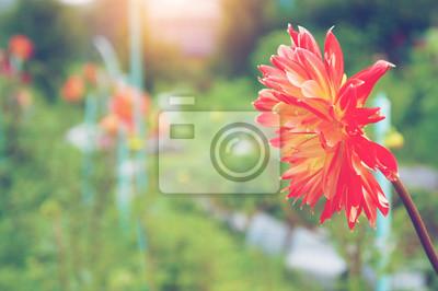 Rote Dahlie auf einem Hintergrund von grünem Laub