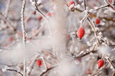 Rote rosa Blume in kalten weißen Winterabdeckung
