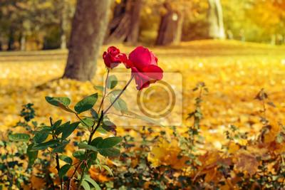 Rote Rosen in der Herbst-Park