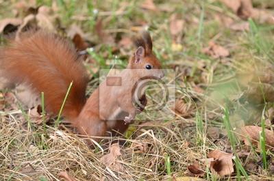 Rotes Eichhörnchen auf dem Boden, auf der Suche fot Muttern