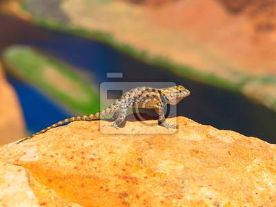 Sticker Sagebrush lizard on the rock