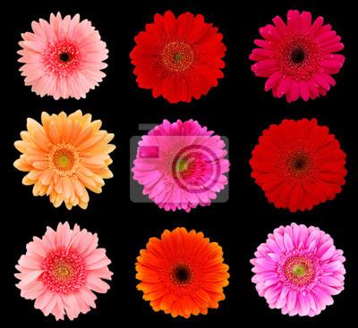 Sammlungsgänseblümchenblumen lokalisiert auf schwarzem Hintergrund