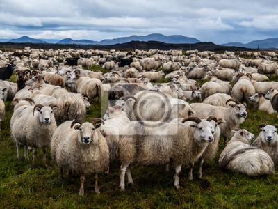 Sticker Schafe
