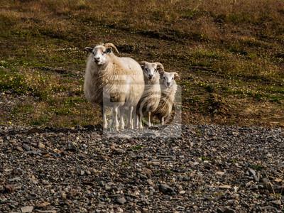 Sticker Schafe Dreifach