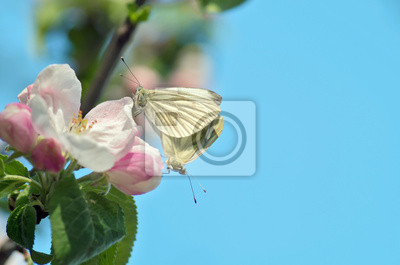 Schmetterlinge sind Paarung