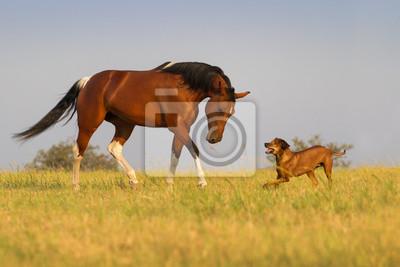 Schöne amerikanische Pinto Stute Trab mit Hund