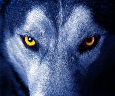 Sticker schöne Augen eines wilden Wolf.