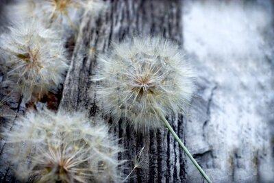 Sticker Schöne Löwenzahn Samen - flauschige Blowball