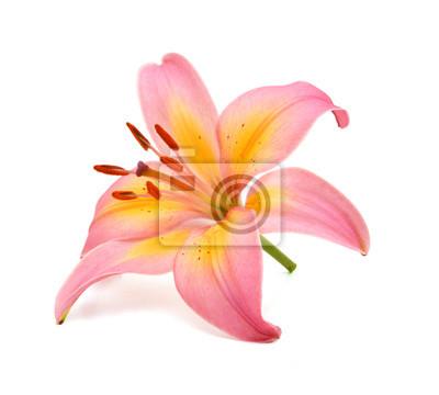 schöne rosa Lilie, isoliert auf weiss