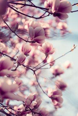 Sticker Schöne rosa Magnolien blüht