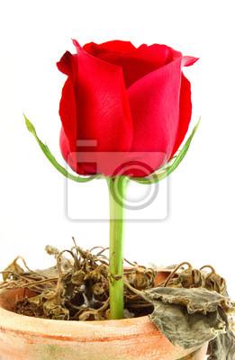 Schöne rote Rose über sterbende Pflanze auf Topf