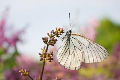 Sticker Schöne Schmetterling sitzt auf Blumen von lila