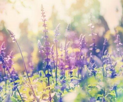 Sticker Schöne Sommer Hintergrund, Lavendelfeld, close up