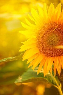 Sticker Schöne Sonnenblume auf dem Gebiet