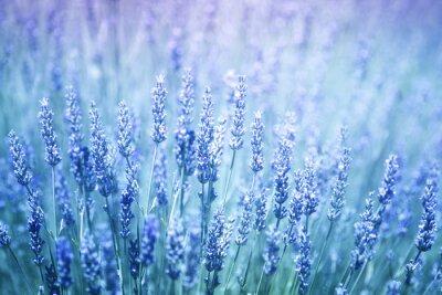 Sticker Schöne verschwommen blühende Lavendel Pflanzen Nahaufnahme Hintergrund. Blau violetten Farbfilter und selektiven Fokus verwendet.