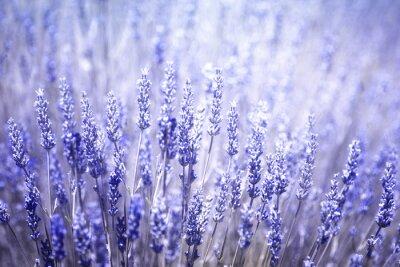 Sticker Schöne verschwommen blühende Lavendel Pflanzen Nahaufnahme Hintergrund. Violet blauen Farbfilter und selektiven Fokus verwendet.