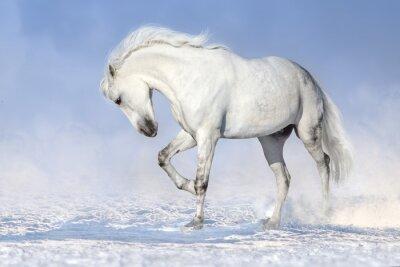 Schöne weiße Pferde laufen im Schnee Feld