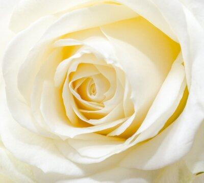 Sticker Schöne weiße Rose