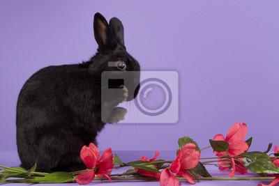 Schwarz Zwergkaninchen auf einem lila Hintergrund