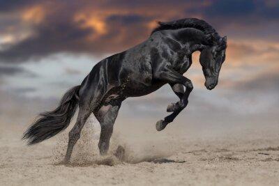 Schwarze Pferd Hengst spielen und springen in Wüstenstaub