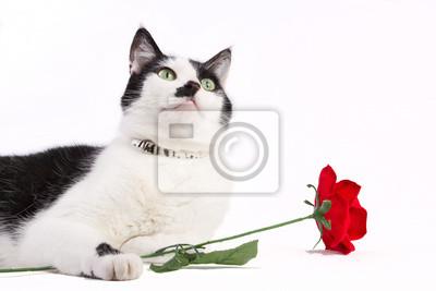 Schwarze und weiße Katze mit roter Rose auf weißem