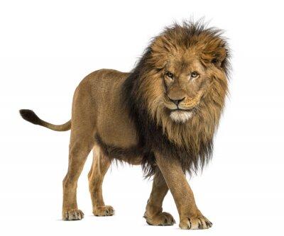 Sticker Seitenansicht von einem Lion Walking, Panthera Leo, 10 Jahre alt