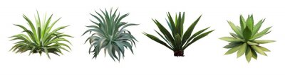 Sticker Set collection Agave plant isolated on white background.This has clipping path.