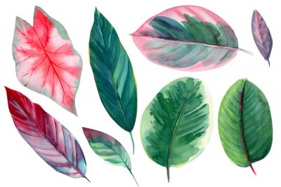 Sticker set of leaves on isolated white background, watercolor illustration, pink and green leaves of tropical plants, rose-painted calathea, Caladium Plants