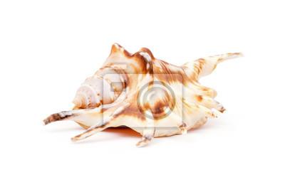 Shell isoliert auf weiß