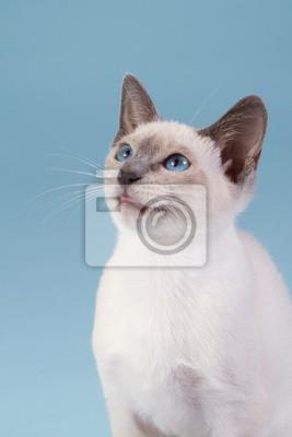 Siamees Katze sitzt vor einem blauen Hintergrund