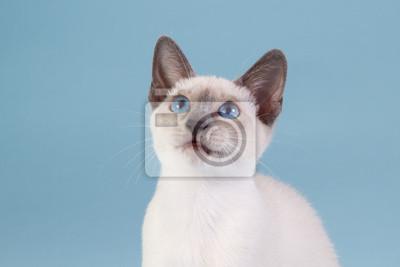 Siamesische Kätzchen suchen