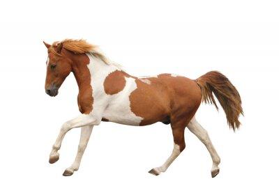 Sticker Skewbald Pony galoppieren getrennt auf Weiß