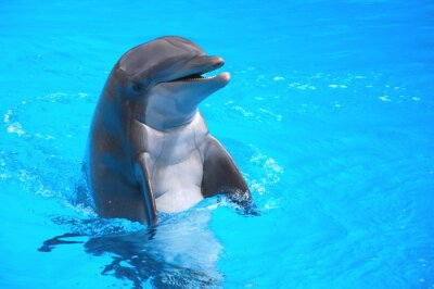 Sticker Śmiejący się w delfin Loro Park na Teneryfie