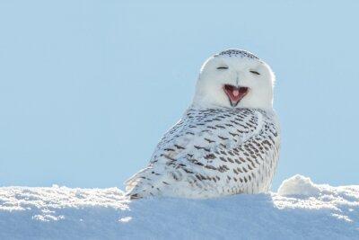 Sticker Snowy Owl - Yawning / Smiling in Snow