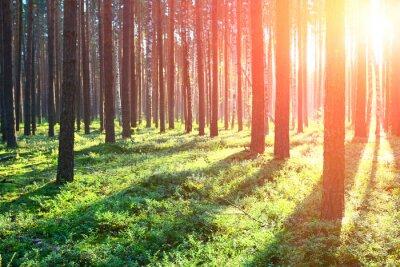 Sticker Sonnenaufgang im Kiefernwald