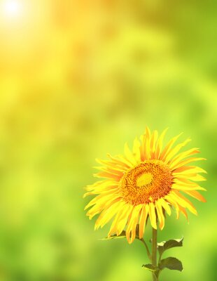 Sticker Sonnenblume auf grünem Hintergrund
