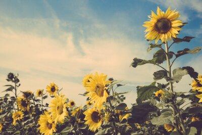 Sticker Sonnenblume Blumenfeld blauen Himmel Vintage retro
