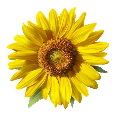 Sticker Sonnenblume - Heliantus. Hand gezeichnet Vektor-Illustration einer Sonnenblume, realistische Bild in lebendigen Farben mit Highlights und Schatten auf weißem Hintergrund.