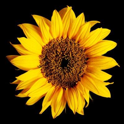 Sticker Sonnenblume isoliert