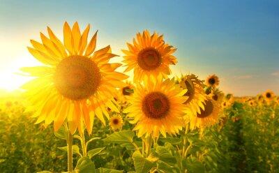 Sticker Sonnenblumen