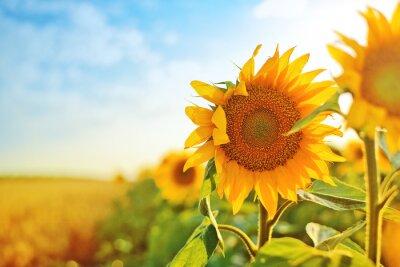 Sticker Sonnenblumen auf dem Feld