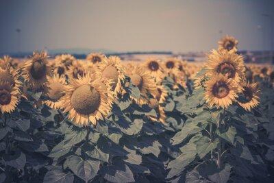 Sticker Sonnenblumen Feldansicht