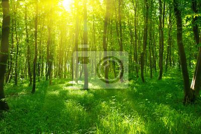 Sonnenlicht in den grünen Wald, Frühling