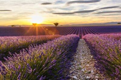 Sticker Sonnenuntergang auf einem Lavendelfeld mit zwei Bäumen