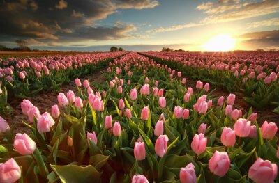 Sticker Sonnenuntergang über rosa Tulpe Feld